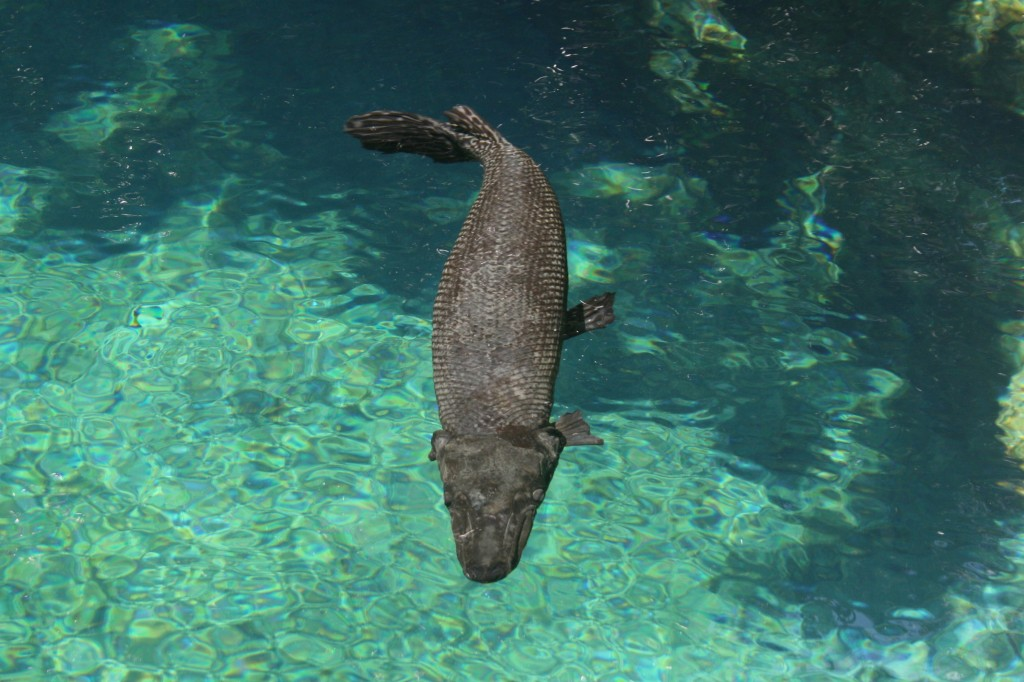Alligator Gar SeaWorld