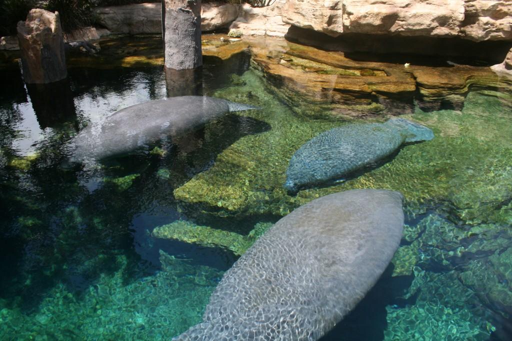 Manatees at SeaWorld